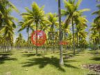 瓦努阿图桑马卢甘维尔的土地,Coconut Drive,编号52495401